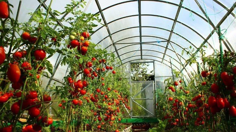 Боремся с популярным заболеванием томатов народными методами: как обработать помидоры йодом от фитофторы