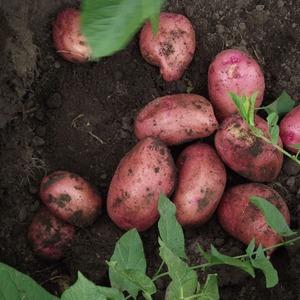 Картофель сорт красавчик описание сорта