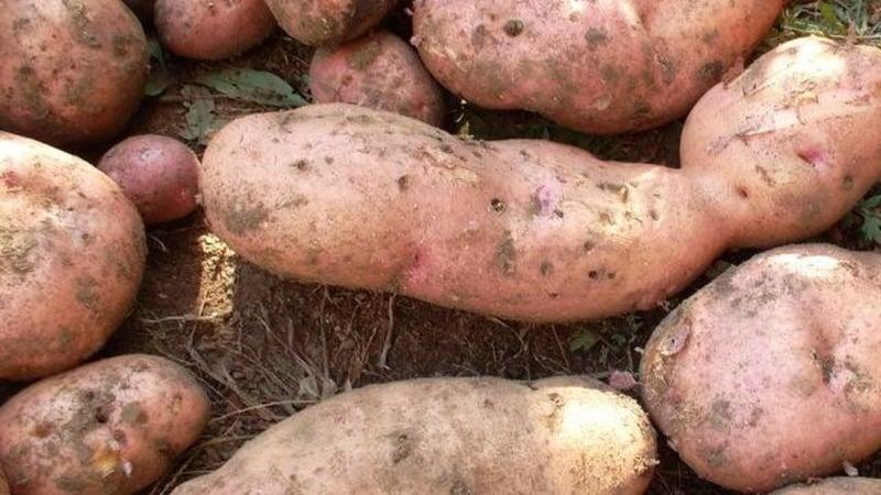 Картофель Лапоть: описание сорта с отзывами