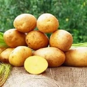 Среднеспелый выносливый сорт картофеля Тоскана