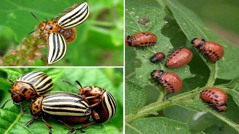 Как спастись от колорадского жука: чем обработать картофель