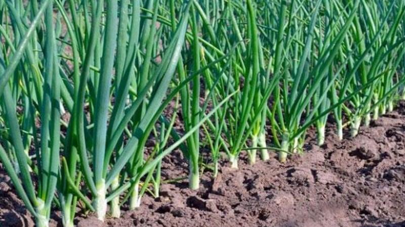 Правила и схемы посадки головок лука весной