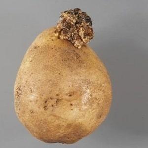 Как бороться с раком картофеля и опасен ли он для человека