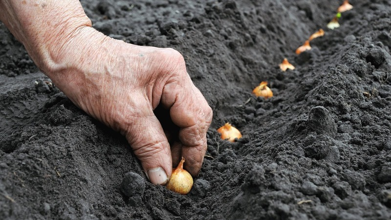 Посадка лука под зиму: можно ли сажать после моркови