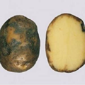 Что такое фитофтороз картофеля: описание болезни и методы лечения