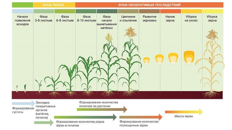 Как растет кукуруза: фото и этапы выращивания, советы опытных фермеров