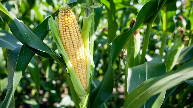 Когда сеять кукурузу на рассаду в 2020 году: сроки посадки и особенности ухода