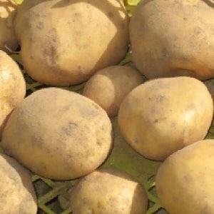 """Раннеспелый сорт картофеля """"Нандина"""" с хорошей лежкостью"""