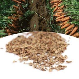 Когда пора собирать семена моркови и как это сделать правильно