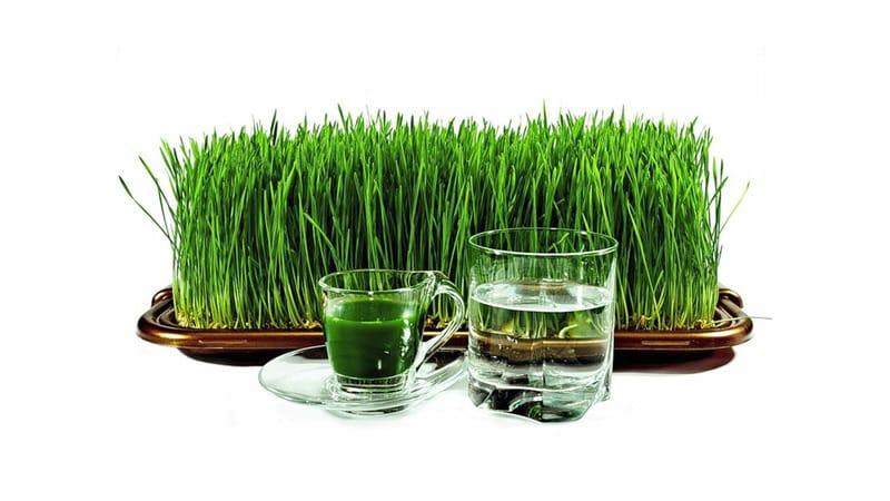 Максимум пользы в одном стакане: готовим и пьем сок из ростков пшеницы правильно