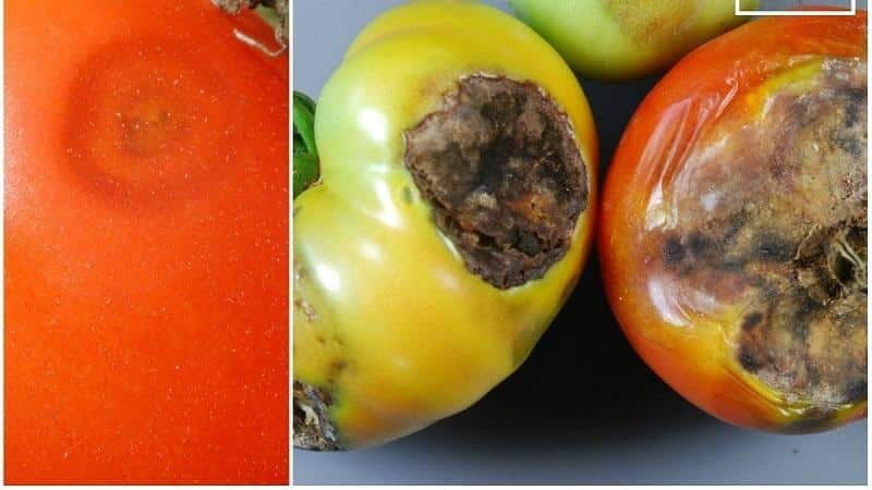 Какие бывают болезни помидоров в теплице и борьба с ними