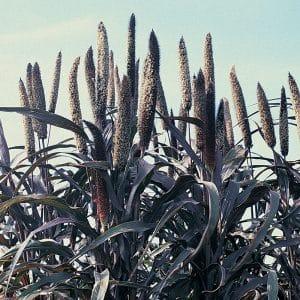 Как выращивать в открытом грунте и применять в хозяйстве африканское просо