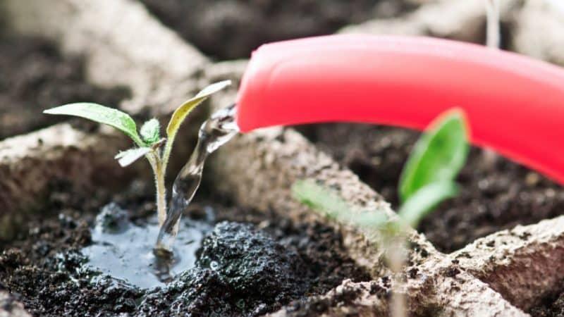 Чем подкормить рассаду помидоров, чтобы были толстенькие стебли и как это сделать правильно