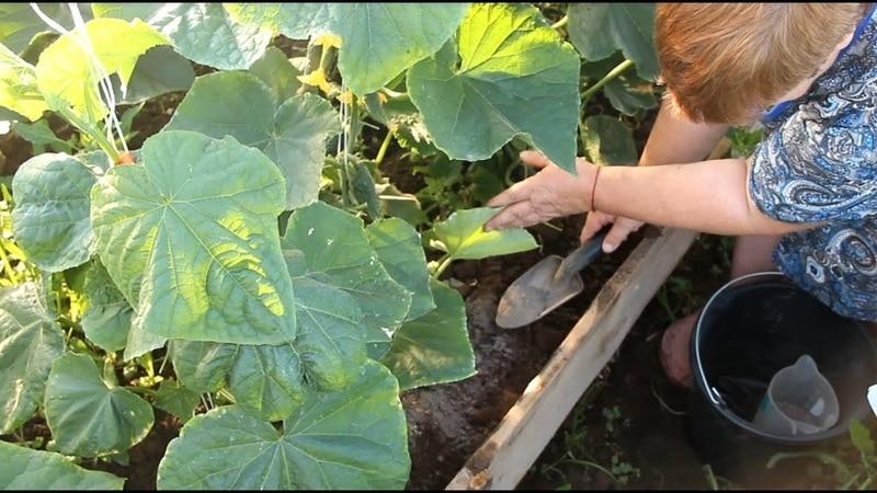 Чем полезна калиевая селитра для огурцов в период плодоношения и как её правильно применять