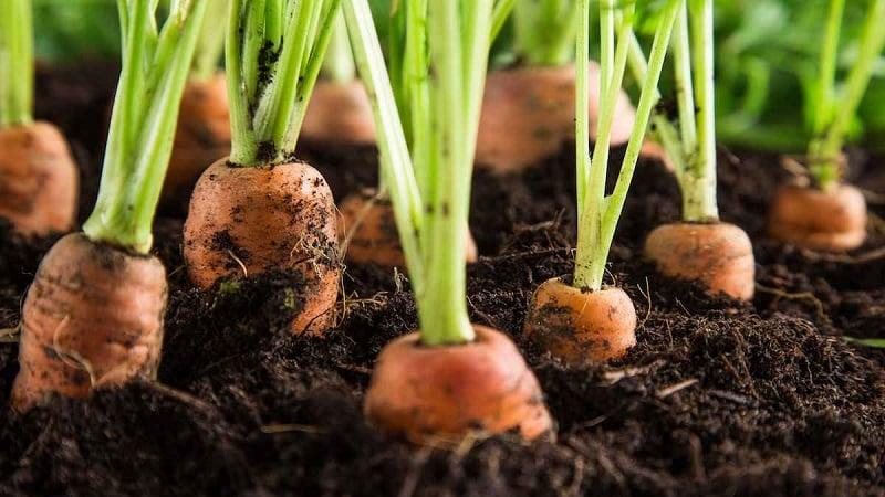 Что делать, если морковь не растет: чем лучше подкормить и как правильно это сделать