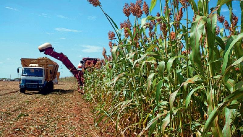 Что такое суданская трава, как её выращивают и куда применяют