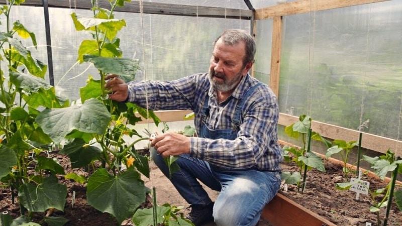 Для чего необходимо формирование огурцов в теплице и как его правильно произвести