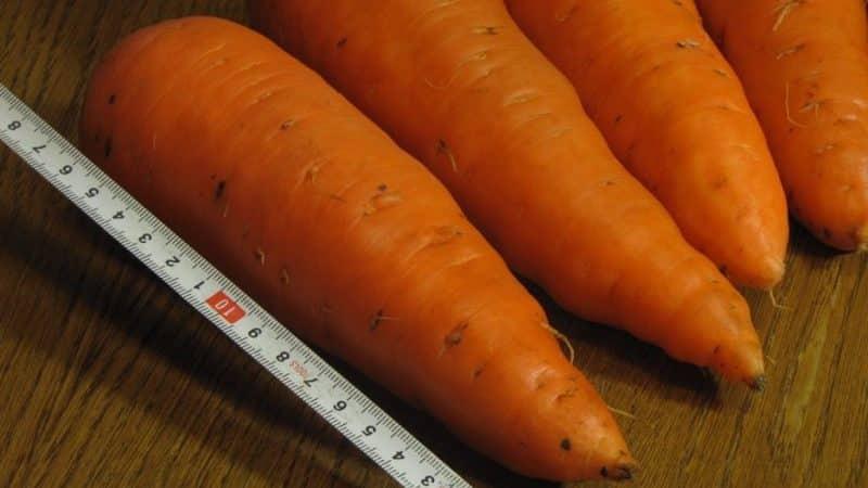 Сочный и сладкий гибрид моркови Абако F1 с высокой урожайностью