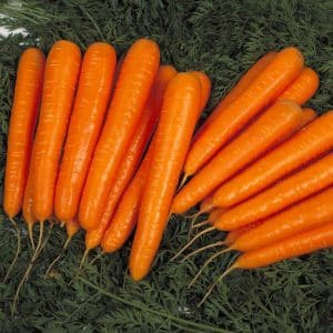 Устойчивый к заболеваниям высокоурожайный гибрид моркови Лагуна F1