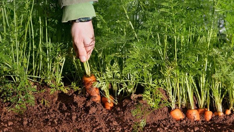 Среднеспелый сорт моркови Нииох 336
