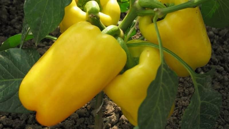 Инструкция по выращиванию вкусных перцев