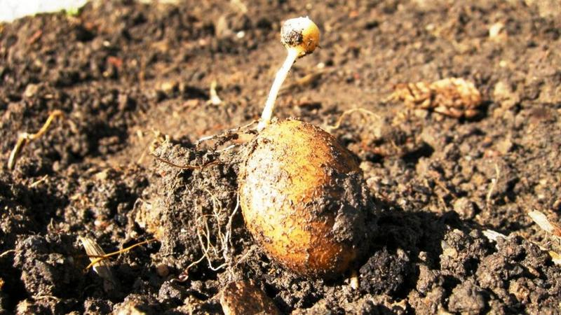 Как и из чего прорастить картофель перед посадкой