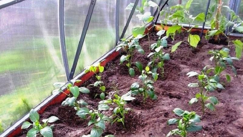 Как и чем подкормить перцы в теплице в августе: лучшие удобрения и рекомендации по их внесению