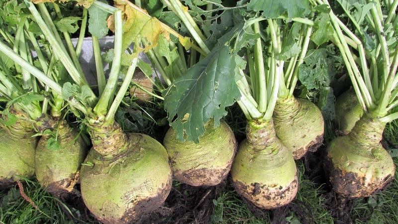 Как получить хороший урожай брюквы: выращивание и уход по инструкции для начинающих