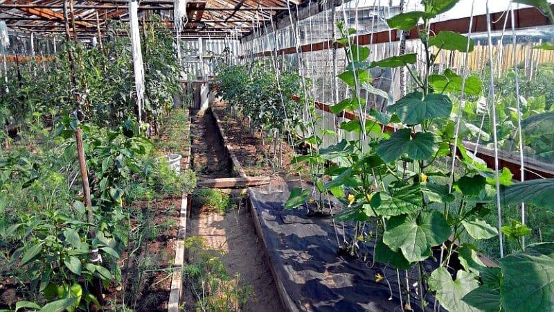 Как посадить огурцы в июле в теплице и можно ли это делать