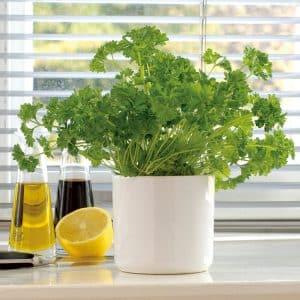 Как правильно выращивать петрушку на подоконнике и получать урожай круглый год