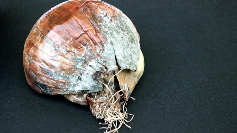 Какие бывают болезни у лука и как с ними бороться