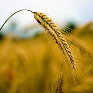 Какие бывают сорта ржи: посевная, озимая и другие разновидности