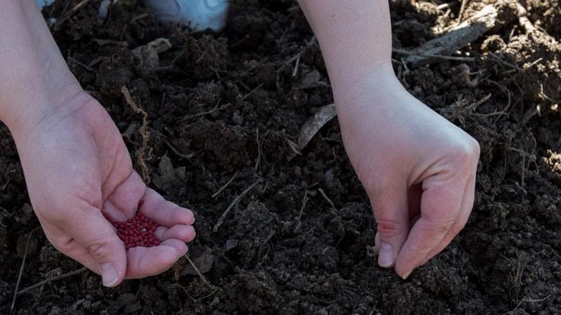 Какие сорта моркови лучше всего подходят для выращивания на Урале