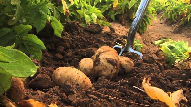 Подготовка почвы под картофель осенью: какие удобрения применять, выбор места посадки