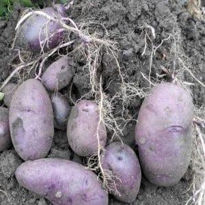 """Неприхотливый сорт картофеля """"Чугунка"""" для регионов с умеренным климатом и южных областей"""