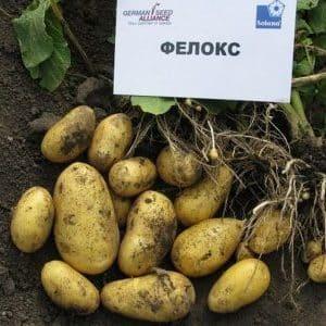 """Неприхотливый сорт картофеля """"Фелокс""""с отменным вкусом"""