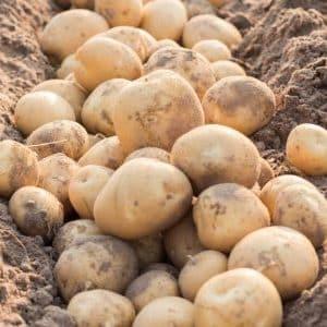 Чем хорош сорт картофеля Колобок и почему его так любят огородники