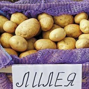 """Потрясающий сорт картофеля """"Лилея"""" с ровными гладкими клубнями и отменным вкусом"""