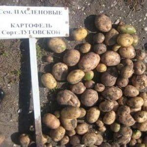 """Среднеспелый, высокоурожайный сорт картофеля """"Луговской"""", идеально подходящий для пюре"""