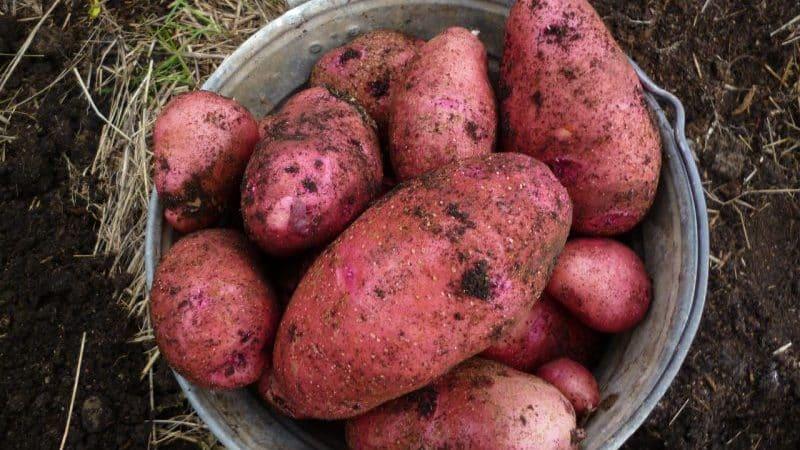 Среднеранний сорт картофеля {amp}quot;Родрига{amp}quot; с крупными розовыми клубнями
