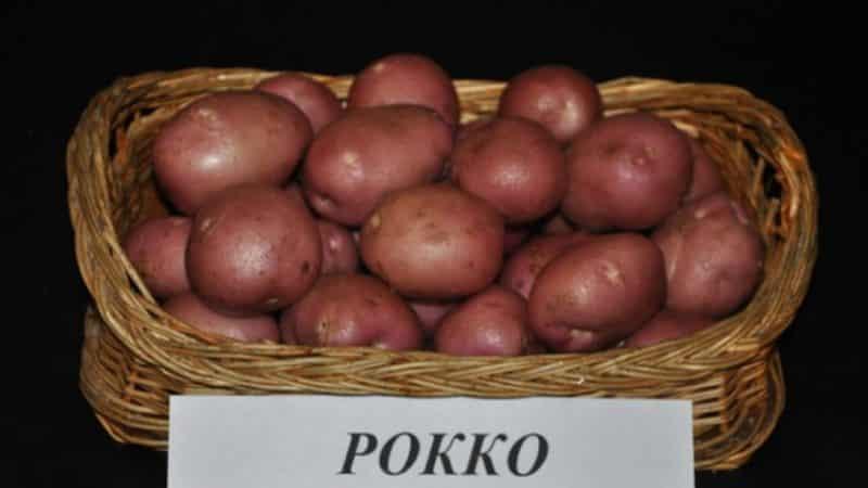 """Высокоурожайный сорт картофеля """"Роко"""", идеально подходящий для варки и запекания"""