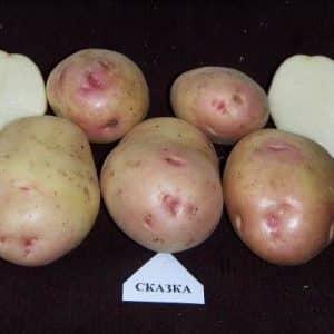 """Отечественный столовый сорт картофеля """"Сказка"""""""