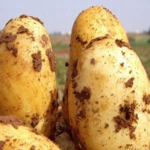 """Раннеспелый столовый сорт картофеля """"Уладар"""": описание, фото и отзывы дачников"""