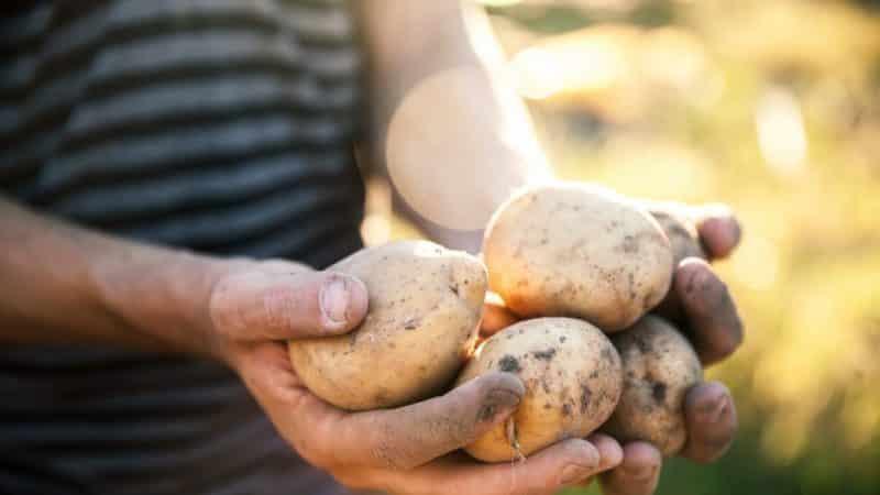 """""""Винета"""" - самый популярный и высокоурожайный сорт картофеля среди огородников-любителей"""