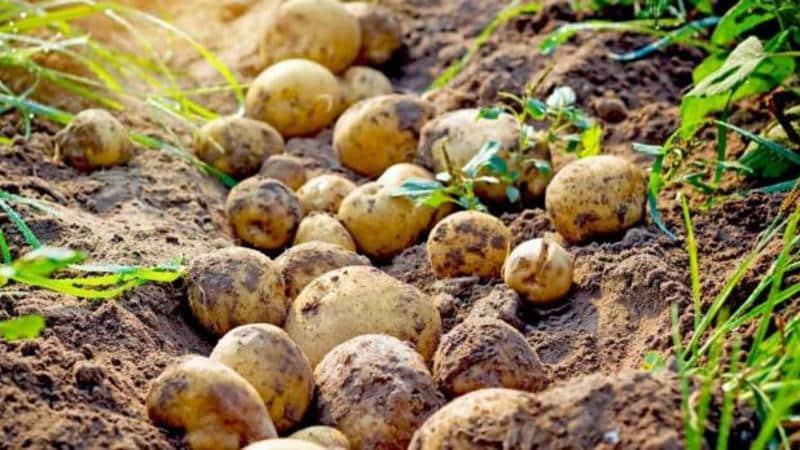 Как правильно и когда копать картофель на хранение
