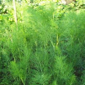Лучшие сорта укропа на зелень без зонтиков для выращивания в теплицах, открытом грунте и домашних условиях