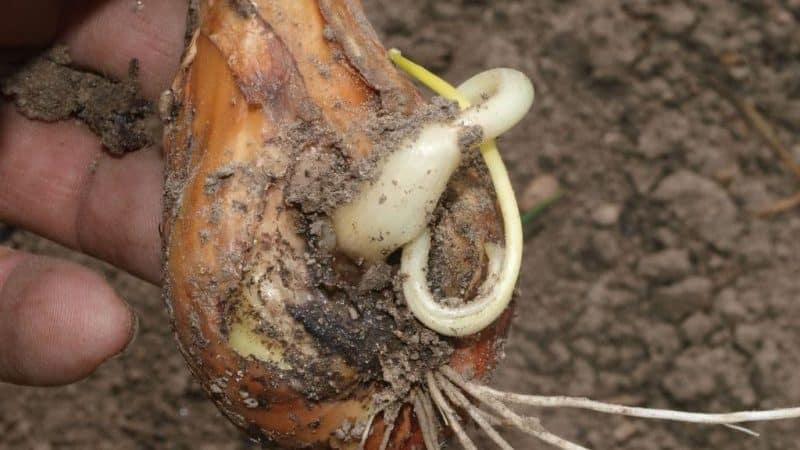 Что делать, если лук гниет на грядке и почему так происходит