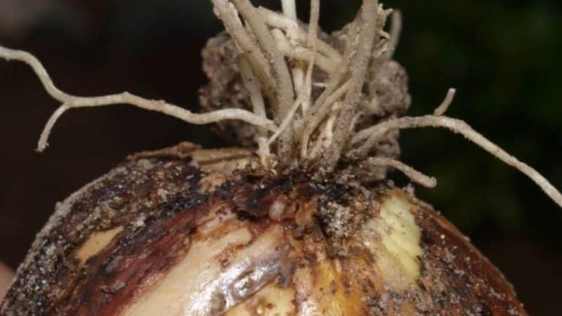 Самые эффективные средства от вредителей: чем обработать лук от червей и как это сделать правильно