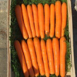 Позднеспелый столовый гибрид моркови Болеро f1: описание и особенности выращивания