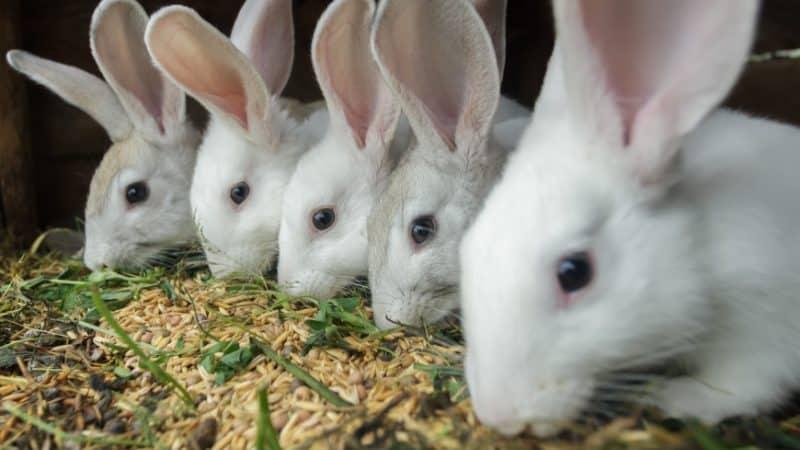 Можно ли давать рожь кроликам, курам, свиньям и коровам